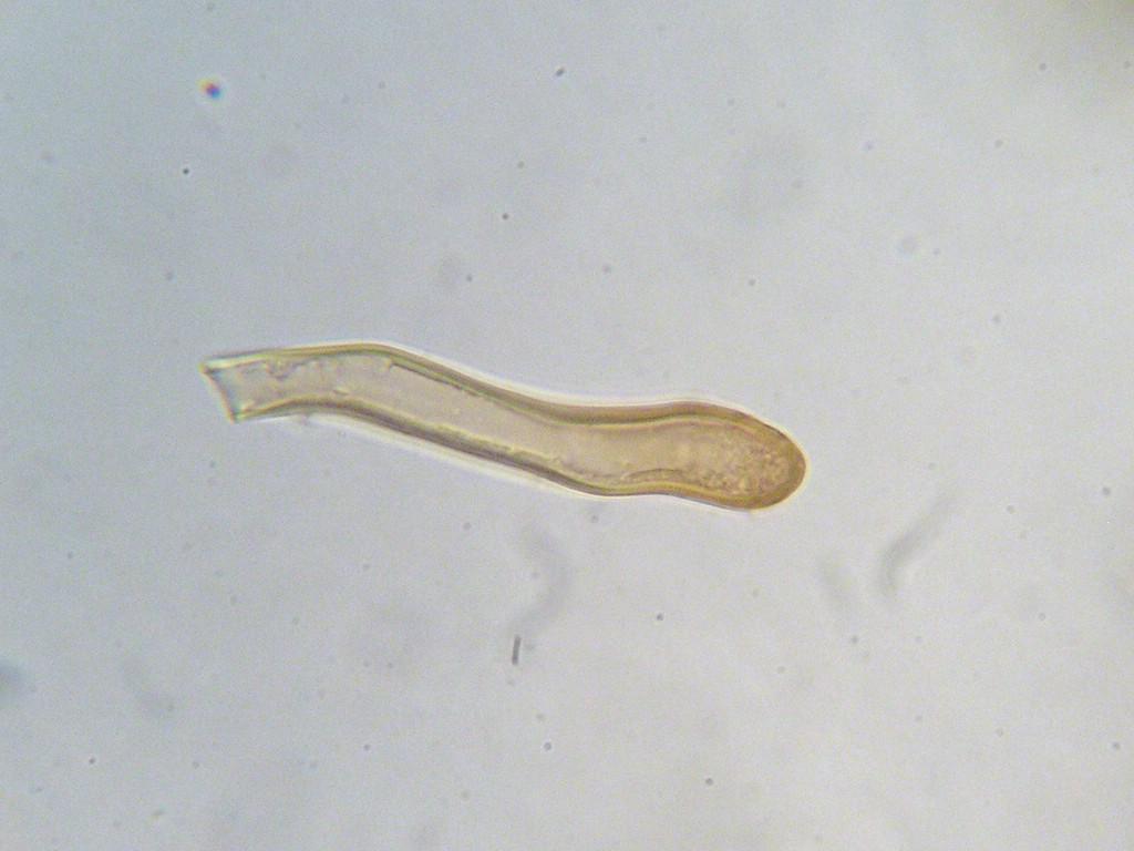 Puccinia-pseudosphaeria_Sonchus-arvensis
