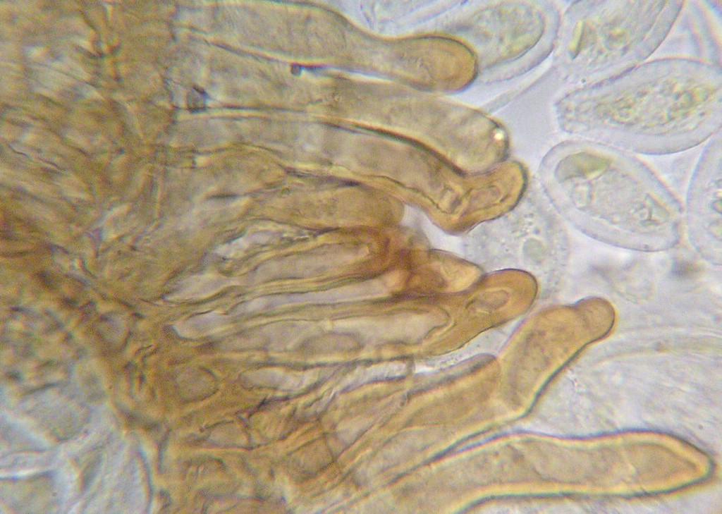 Puccinia-pseudosphaeria_Sonchus-asper