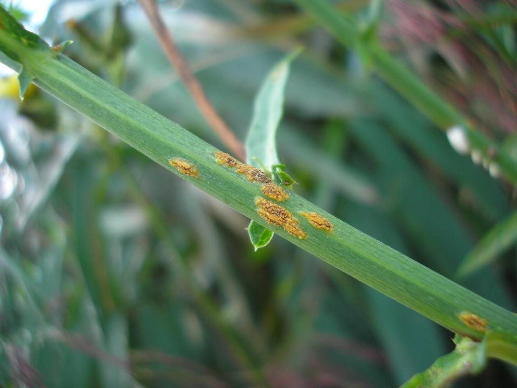 Puccinia-pseudosphaeria_Sonchus-palustris