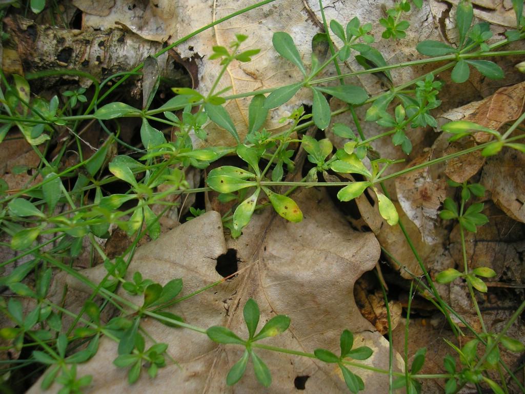 Puccinia-punctata_Galium-saxatile