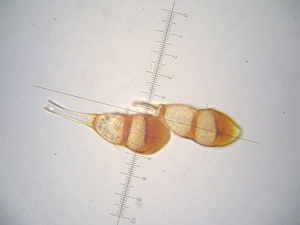 Puccinia-punctata_Galium-sylvaticum