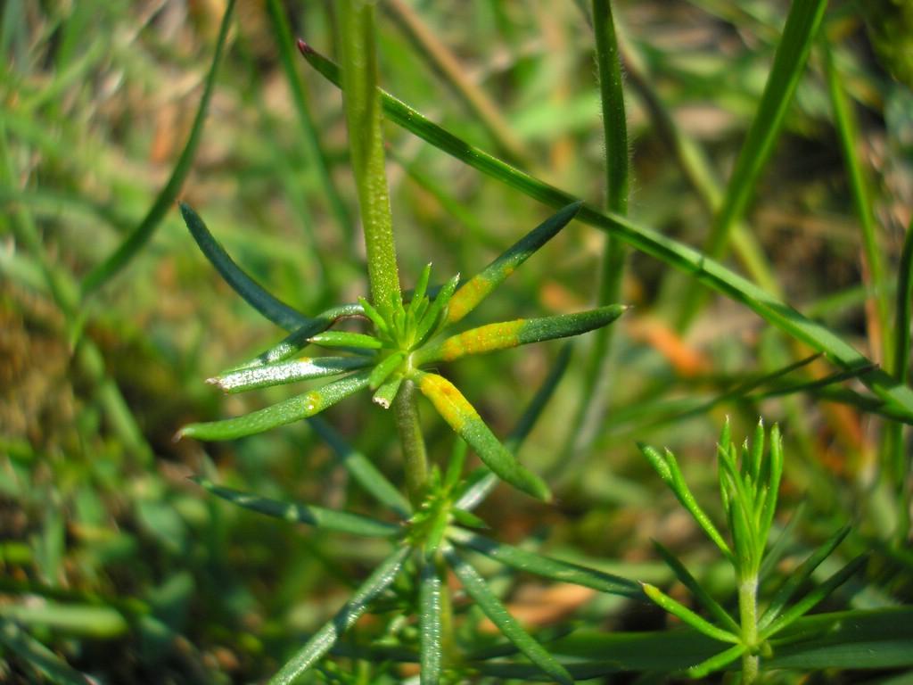 Puccinia-punctata_Galium-verum
