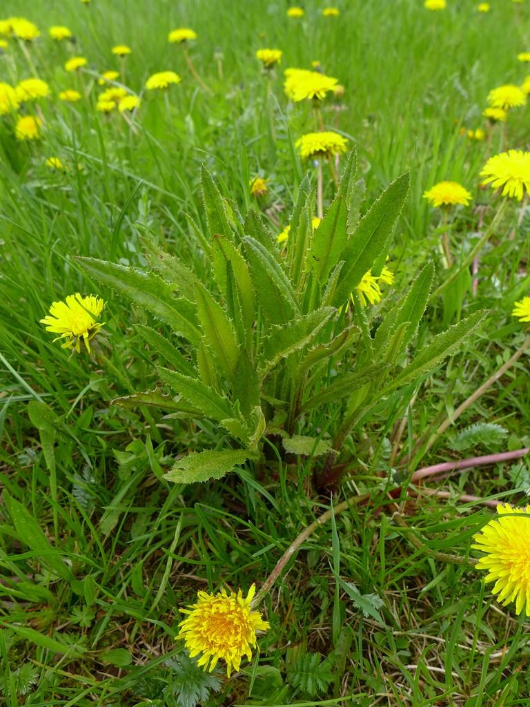 Puccinia punctiformis_Cirsium arvense_JKruse (1)