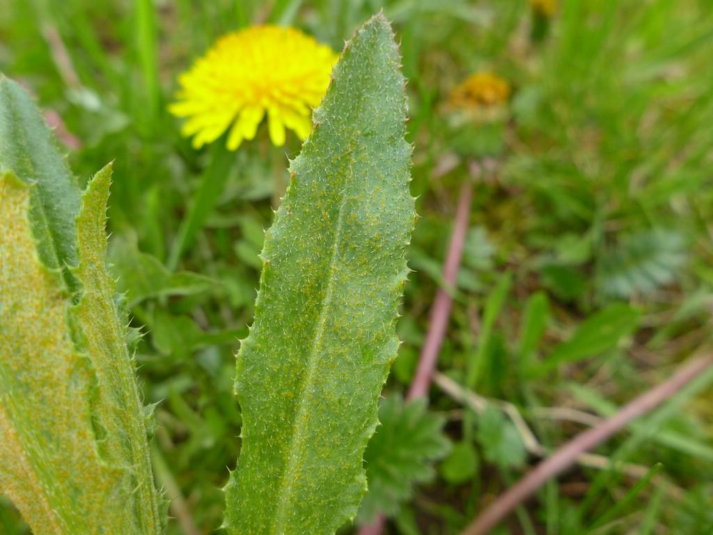 Puccinia punctiformis_Cirsium arvense_JKruse (3)
