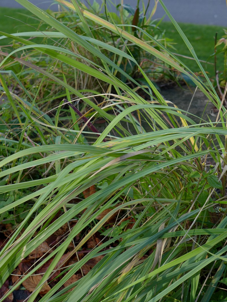 Puccinia pygmaea_Calamagrostis epigejos_JKruse (1)