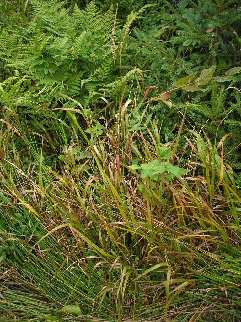 Puccinia-pygmaea_Calamagrostis-villosa