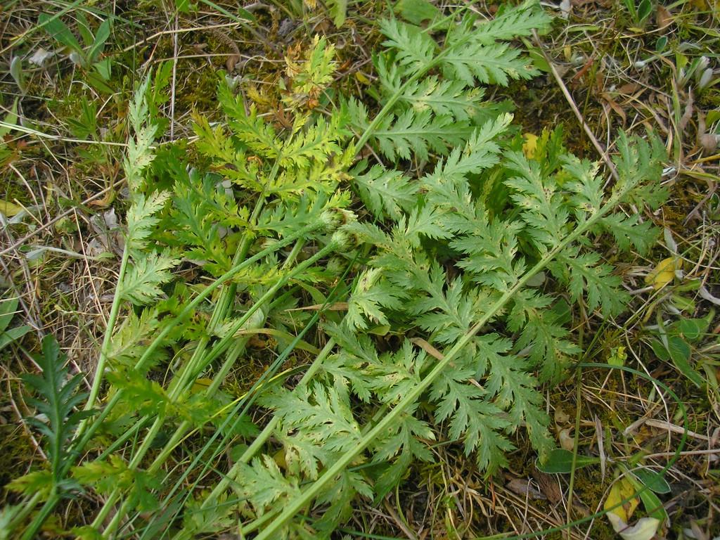 Puccinia pyrethri